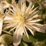 fleurs-bach-grenoble-clématite 1