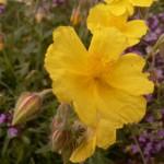 fleurs-bach-grenoble-hélianthème