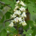 fleurs-bach-grenoble-marronnier-blanc