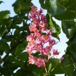 fleurs-bach-grenoble-marronnier-rouge