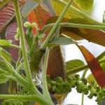 fleurs-bach-grenoble-noyer