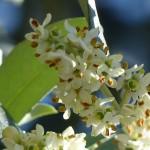 fleurs-bach-grenoble-olivier
