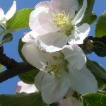 fleurs-bach-grenoble-pommier-sauvage