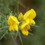 fleurs-bach-bagnoles-orne-ajonc